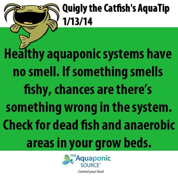 Aquaponics aquaponic fish aquaculture hydroponics for Catfish aquaponics