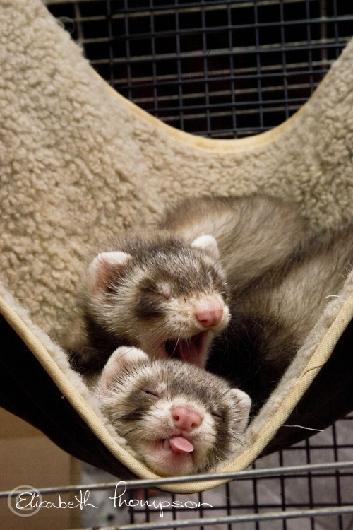 ferrets - looks just like our gordon and tia x