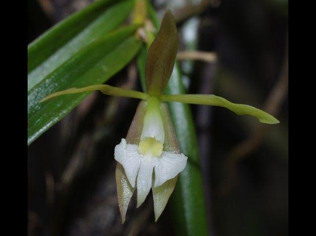 Epidendrum longicolle