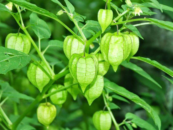 Ciplukan (Physallis angulata L.) merupakan jenis tanaman semak liar yang berkhasiat obat.  Daun,  buah,  batang, dan akar tanaman ini punya daya menyembuhkan.