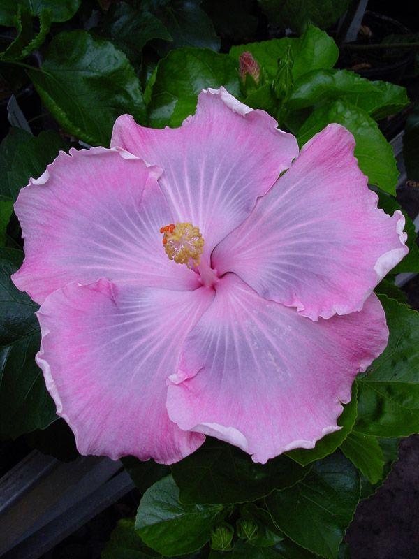 'Tahitian Pastel Princess' hibiscus