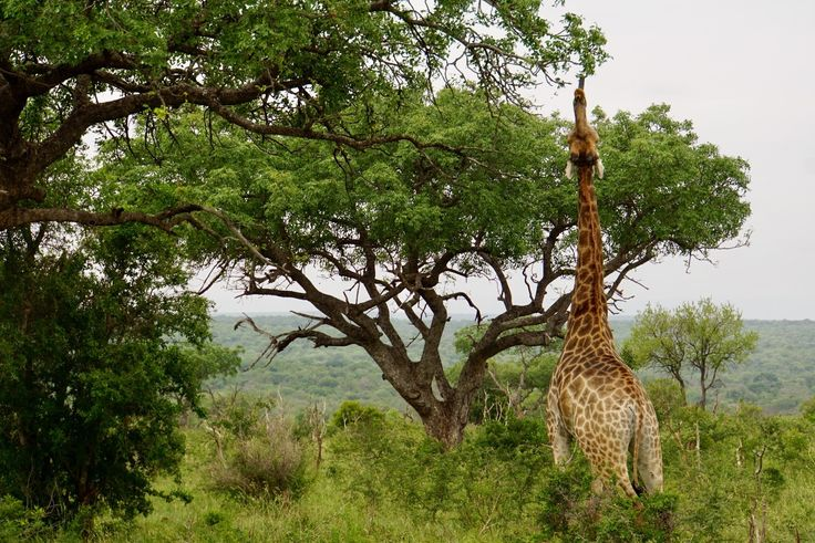 The Acrux Expedition » Africa with fresh eyes. Giraffe eating leaves. Mkhaya Game Reserve, Swaziland.