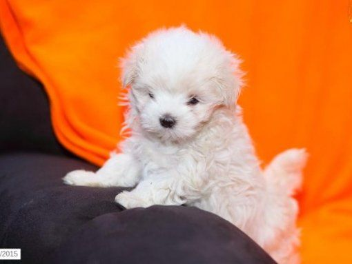 MMMNR tiny teacup maltese puppies for sSale hkjnhtjk