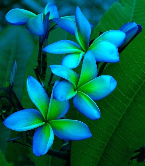 I really love the blue and greens in The flower because it is very unusual and stands out.                                                                                                                                                                                 More
