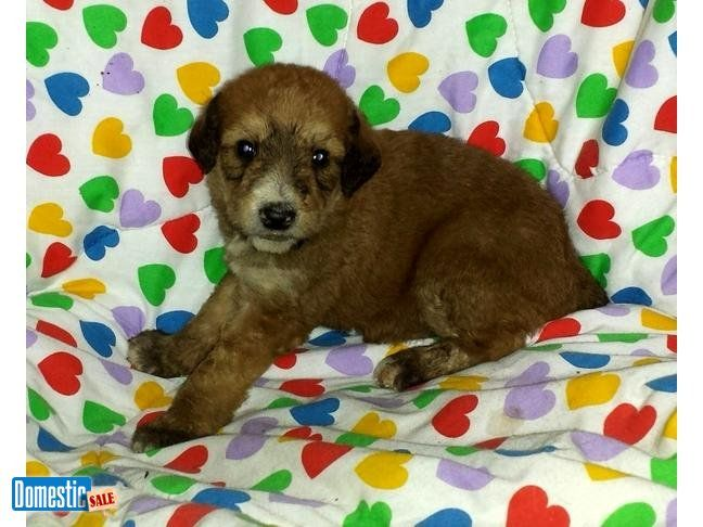 PATTI: $1095, Female, Red, Airedoodle, born 3-10-16 to Female Airedale Pics of Patti were taken on 4-6-16. She is beautiful. She is an Airedoodle. She has a lovely light red ...