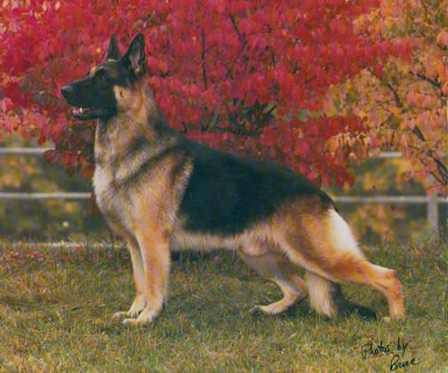 *CH Covy-Tucker Hill's Manhattan OFA ROM*  The top-winning male dog of all time, of any breed in AKC history, with 201 All-Breed Best in Shows.  Manhattan was also the 1987 Westminster Best In Show - the only Herding Group dog to take top honors at the Garden.