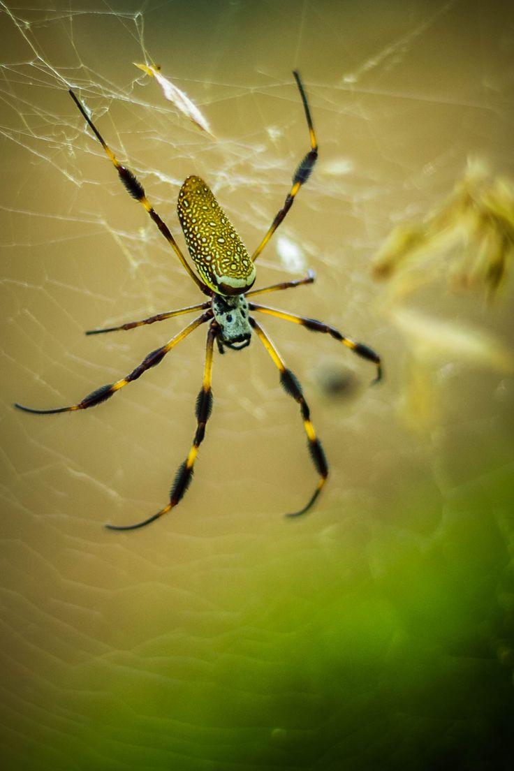High Resolution Wallpaper   Golden Silk Orb-weaver Spider 1535x2303 px