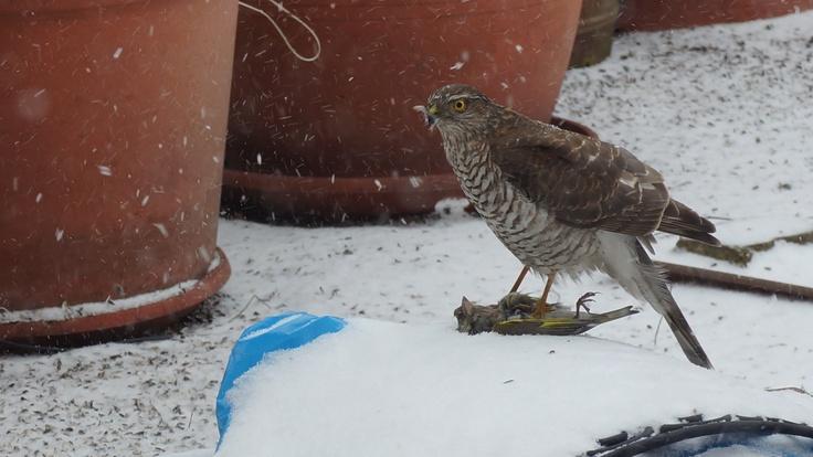Eurasian Sparrowhawk ready to it a siskin