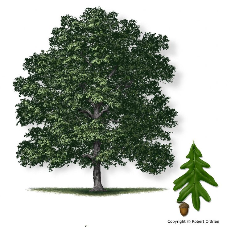 white oak tree another large tree at maturity and should be planted more often. Similar to the Bur oak in drought tolerance but may be more difficult to find. Height at maturity: greater than 40 feet.