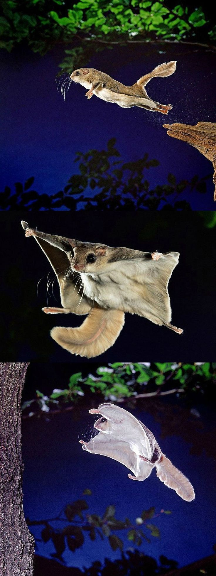 flying momonga, get does wings out <3