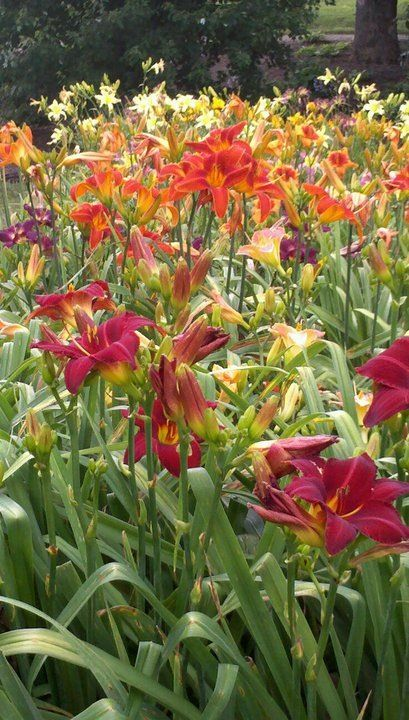 Daylily gardens work well in semi-shade. Use daylilies on the foot of a clematis, which is climbing into a tree, for example.