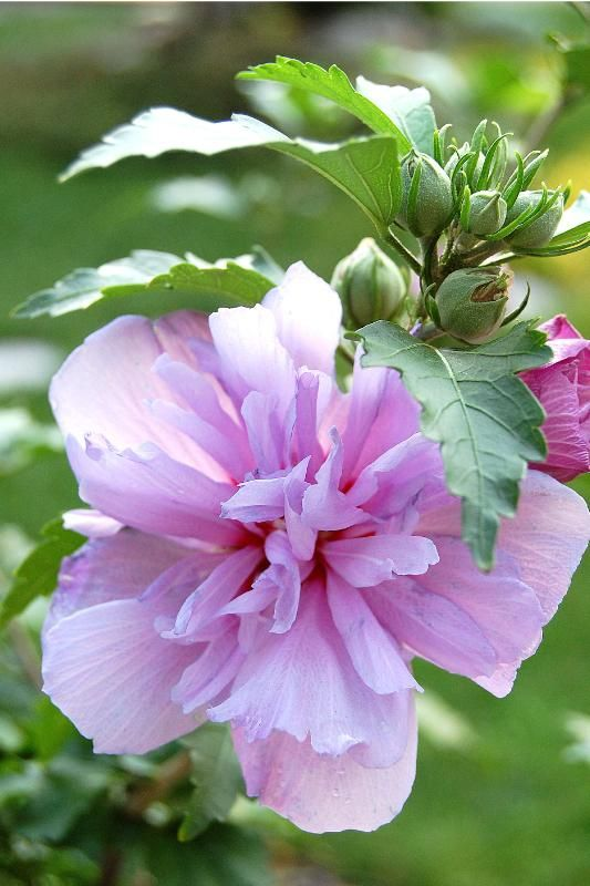 Rose of Sharon - Double Pink