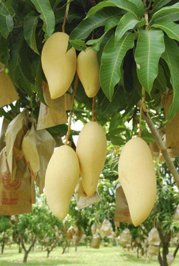 Nam Doc Mai Sri Thong  Mango Live Plant  Original Grafted  2 years has fruits