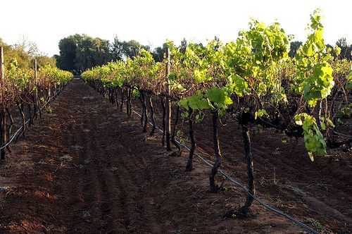Vineyard in the Free State