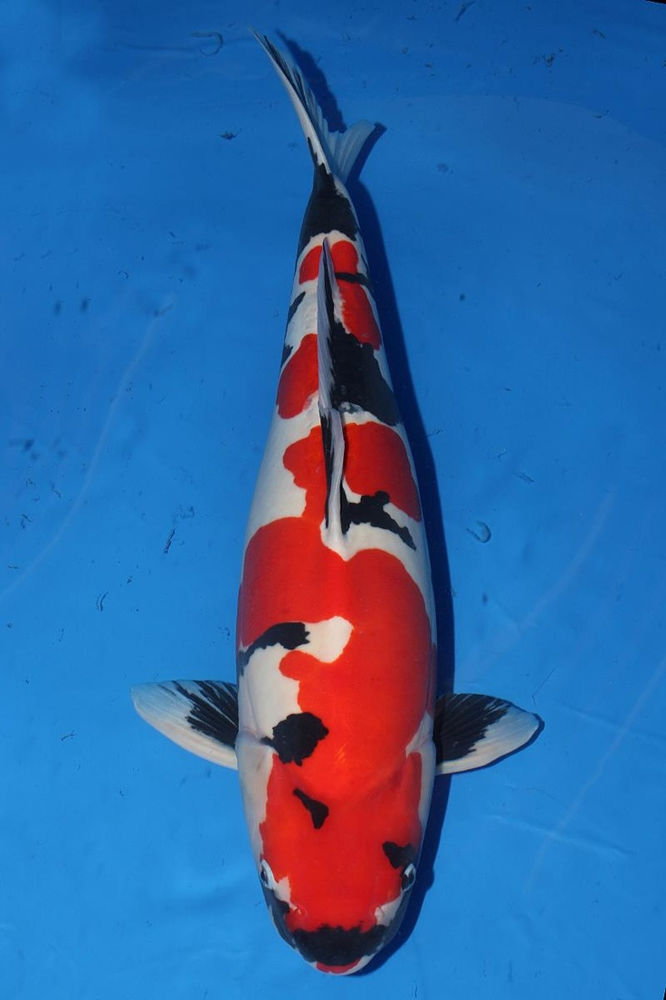 204 best images about koi on pinterest japanese koi red for Exotic koi fish