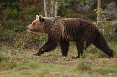 Ours brun marchant à découvert                                                                                                                                                     Plus