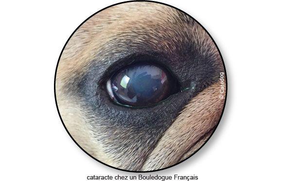 Cataracte Du Chien Symptôme Traitement Chien Anatomie