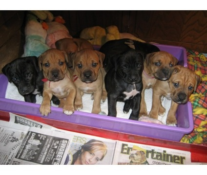 Puppies For Sale Is A Male Boxador Puppy For Sale In Green Bay Wi
