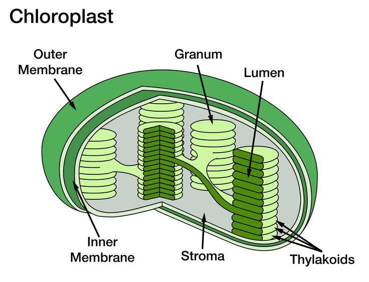 Grana Chloroplast Diagram Labeled Wiring