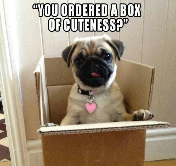 Box-of-Cuteness Pug