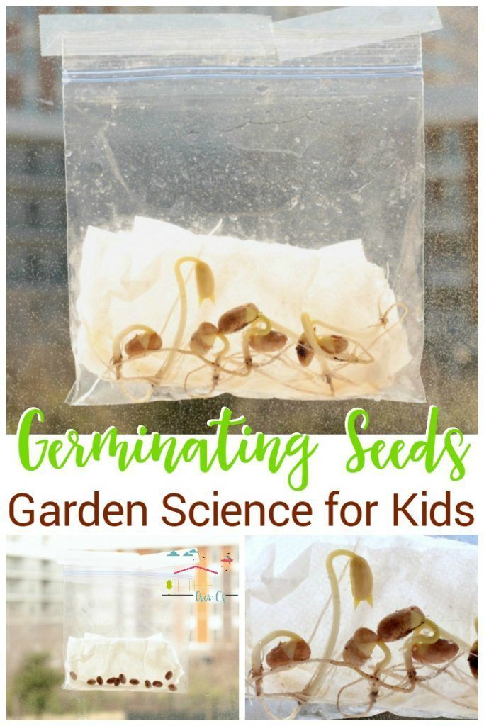 Kids will love sprouting their own seeds in a plastic baggie! With just a few materials, kids can watch seeds sprout by germinating seeds in a bag. via /lifeovercs/