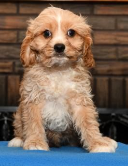 Rusty Cavapoo Puppy for Sale in Millersburg, OH in 2020