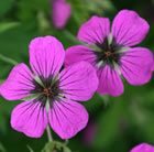 Gorgeous magenta flowers with black centres - Geranium psilostemon