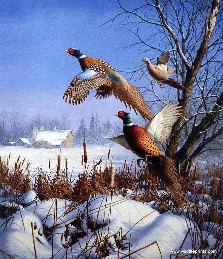 In the David Maass print WINTER WONDER-PHEASANTS three ring-necks are flushed…