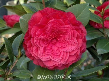Nuccio's Bella Rossa Camellia (Camellia japonica 'Nuccio's Bella Rossa') long blooming winter-spring, 6-8' and taller with age - Monrovia