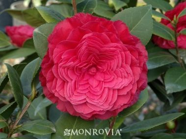 "Nuccio's Bella Rossa Camellia.  Planted one in the Fall, the blossoms really do look just like this!   Care:  Filtered sun, regular watering - weekly, or more often in extreme heat. Moderate growing 6 to 8 feet tall and wide.  Winter flowering (to mid April?)  Planted my second 3/29/12, 3'4""to start.  (all Nuccio's camillias are japonica)"