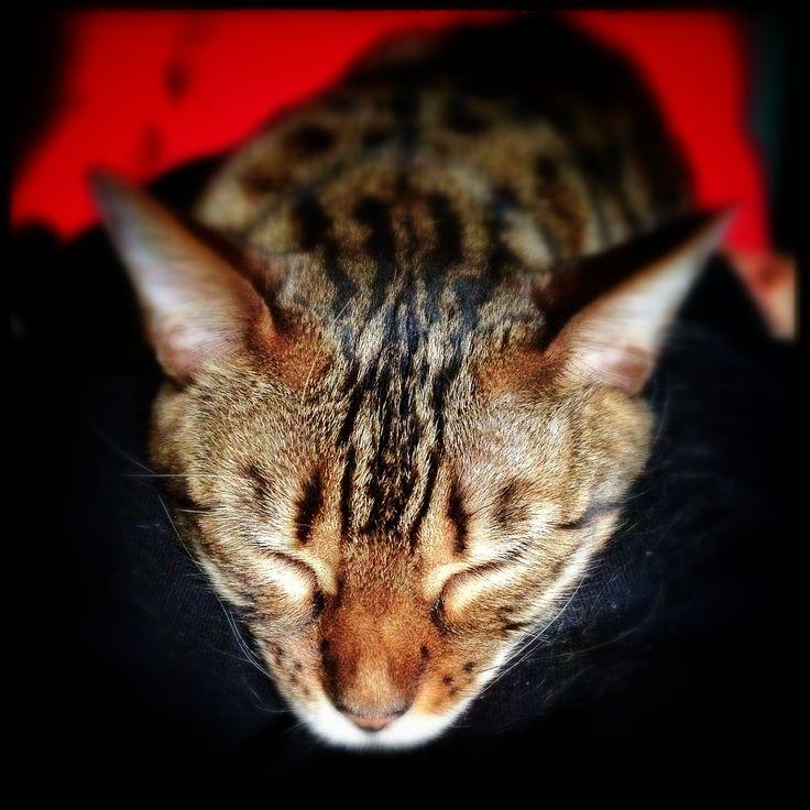 Bengal cat Mizu, Jill G Rosenberg