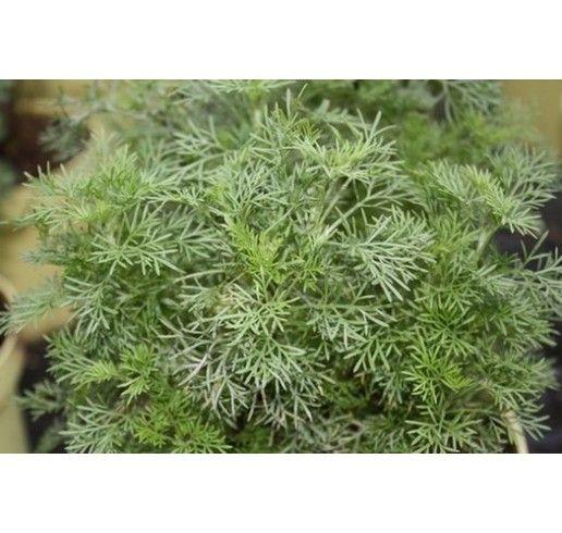 Artemisia abrotanum var. Maritima / Cola bylinka, K12