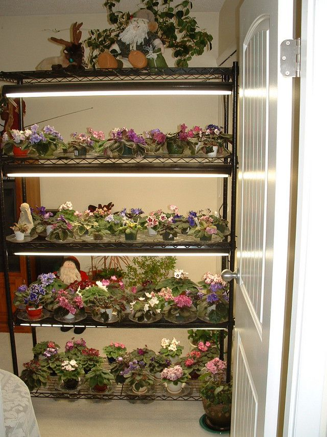 Share your pic of growing shelf. African Violets Forum