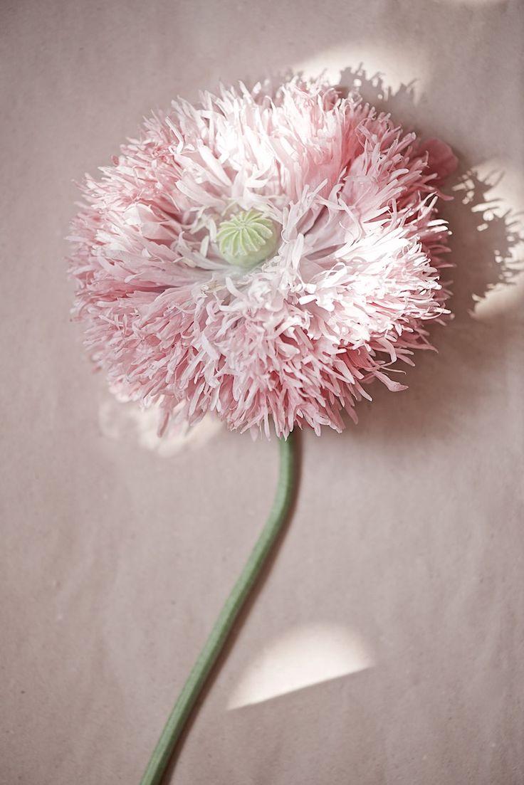 poppy in soft ballet pink , Mohnblume