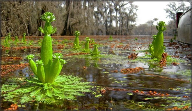 Caddo Lake. Caddo Lake State Park. Uncertain, Texas ...