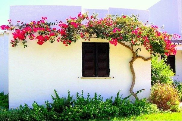 espalier boganvilla......I had these all along our fencing in Arizona and they hung in huge clusters all year long
