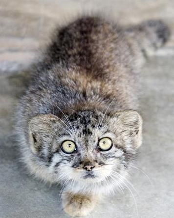 Pallas's Cat --- a kitten that time forgot.  This species is 12 million years old, the last of two ancient cats (Martelli's Cat is the other, now extinct) that gave rise to today's large and small cats of record.