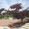 Purple-leaf Mimosa Tree 'Summer Chocolate' (Albizia julibrissin)
