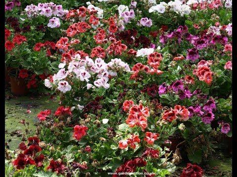 pelargonium care, ingrijirea muscatelor sau a perlagoniei, уход за пелар...