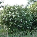 Viburnum opulus Fordele ved hjemmehørende planter.