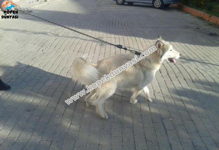 2 yaşında dişi Malamute cinsi köpeğimi ücretsiz olarak sahiplendirmek istiyorum. İşe girip Tekirdağ'da ailemin yanına taşınmak zorunda kaldım. Bu nedenle işim gereği hem köpekle ilgilenemiyorum hem de ailem evde bina sakinleri ile sorun yaşadığı için köpeğimi istemiyor. http://www.kopekdunyasi.com/2-yasinda-disi-alaskan-malamute-ucretsiz-olarak-sahiplendirilecektir.html