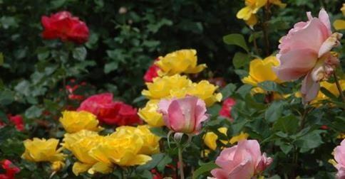Csináljuk együtt - rózsa dugványozása - gazigazito.hu