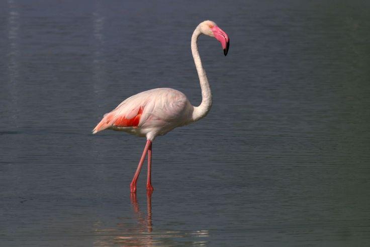 Flamingo : Baş aşağı.  Temel besin kaynağı olan spirulina algiyle beslenebilmek için kafasını çevirir; öyle ki alt gagası üstte kalır.  Bu büyük alt gaga, gaganın suya fazla batmamasını sağlar.  Flamingo başını salladıkça kalın dili göl suyunu kepçe biçimli gagasına pompalar ve burada kılımsı çıkıntılardan oluşan bir filtre, algleri toplar.