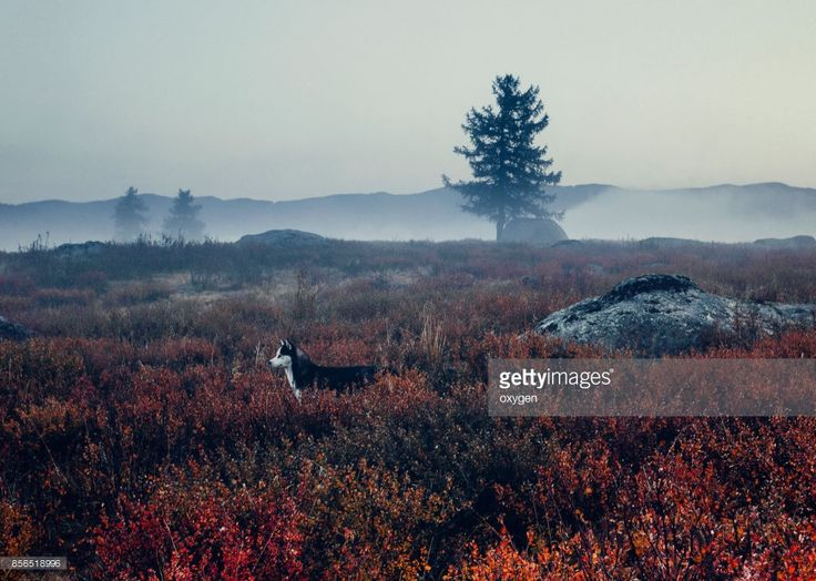 Husky Dog stay near Big Stone in Morning Fog in the vicinity of the mountain pass Ulaganskiy, surrounded by autumn red dwarf birches. Altai, Russia by Oksana Ariskina on @gettyimages. #OksanaAriskina #Photography #Nature #Altai #Mountain #Russia #Ulagan #gettyimages #gettyimagescreative  #gettyimagesnew #Fog #Dog