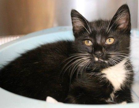 Polyester: 2-month-old tuxedo beauty is out of time at high-kill SC shelter