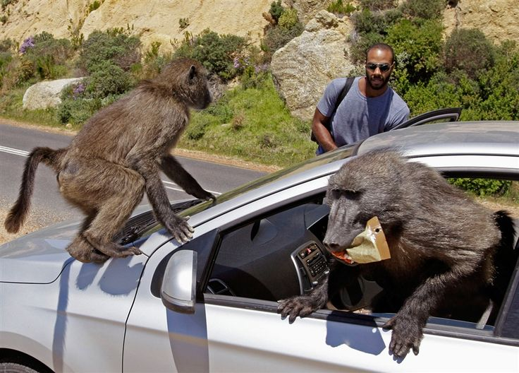 Monkey business: Baboons raid tourists' car in Cape Town, South Africa