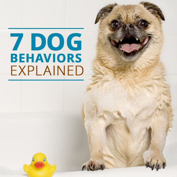 Why do dogs sniff other dogs? 7-Doggie behaviors explained. #dogs #pets