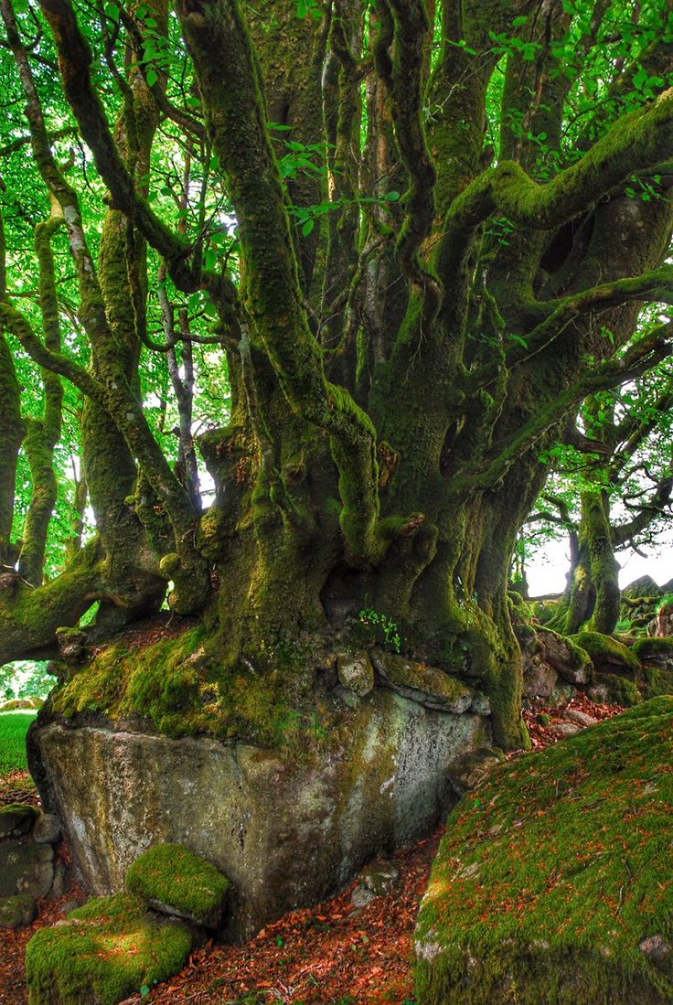 Beech tree growing over a boulder, near burrator reservoir July 2012 #Dartmoor #Devon