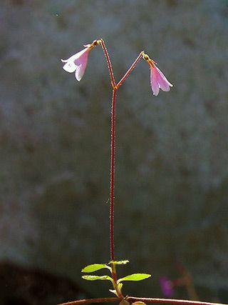 Vanamo, Linnaea borealis - Kukkakasvit - LuontoPortti