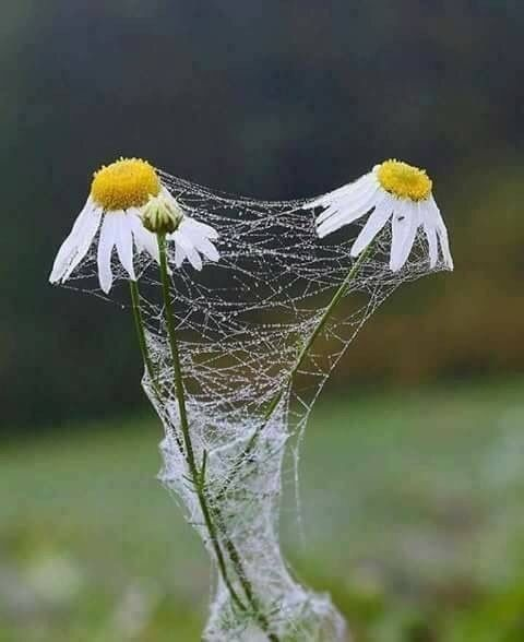 Image result for daisy in a spider's web